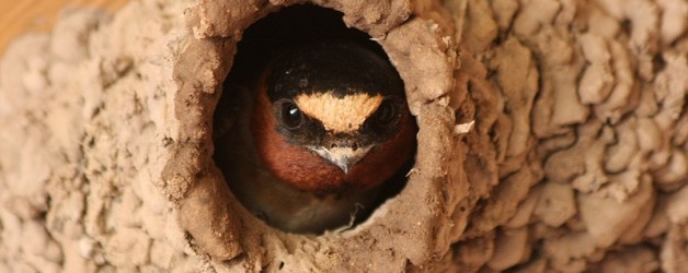 San Juan Capistrano Trying To Lure Swallows To Mission